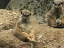 Very tired meerkat