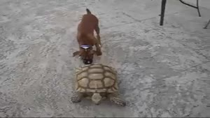 Crazy turtle chases dog.