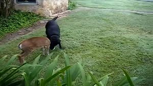 Dog and deer playing