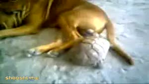 Tortoise bites dog's testicles