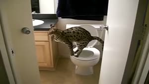 Toilet trained Savannah Cat