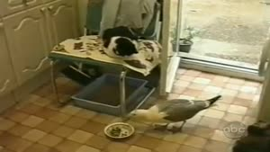 Seagull Swipes Cat's Food
