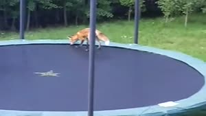 Foxes Jumping On A Trampoline