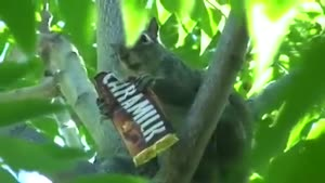 Squirrel Eating Candybar