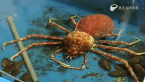 Giant Spider Crab Molting