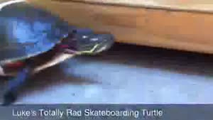 turtle with skateboard mounted