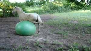 Horse Using Exercise Ball