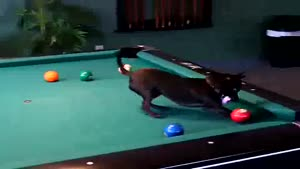 Chihuahua Is Champion At Pool