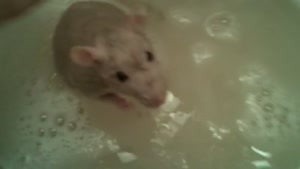 Rat Takes A Bath!