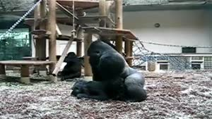 Gorilla Exhibitionists...