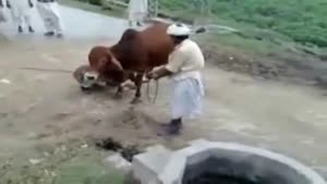 Cow Kicks Guy In The Head