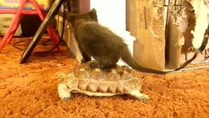 Kitten Riding Turtle