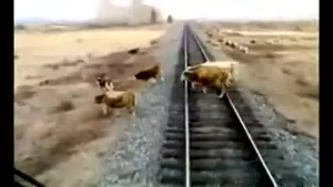 Herd of Cows vs Train