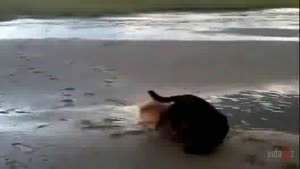 Two Dogs Collide On The Beach