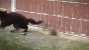 Courageous Rat Fights Off Four Cats