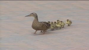 Ducks Blown Off Their Feet