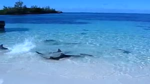 Shark-Feeding Frenzy In Shallow Waters!