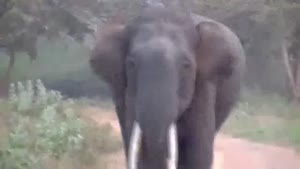 Charging Elephant With The Crazy Eyes