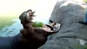 Hippo Eats Whole Melons