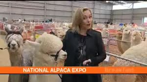 Alpacas Get It On, On Live TV