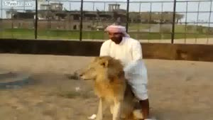 Arab Rides A Lion Like A Horse