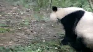 Super Active Panda Bear