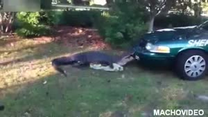 Aligator Vs. Cop Car