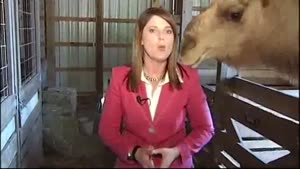 Camel Eats Reporters Hair
