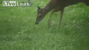 Deer Eats A Bird