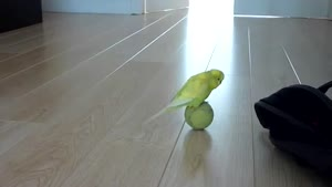 Budgie Playing With Tennis Ball
