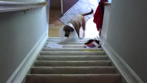 Dog With A Collar Vs Stairs