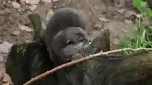 Otter Juggles A Stone