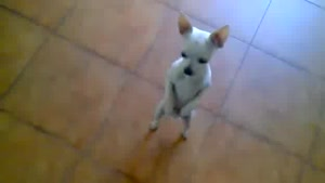 Chihuahua Dancing The Rumba
