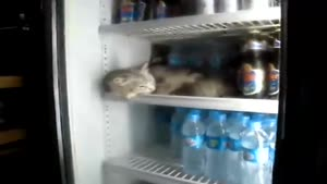 Cat Sleeping In The Fridge