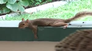 Planking Squirrel