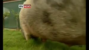 Boris The Obese Pig