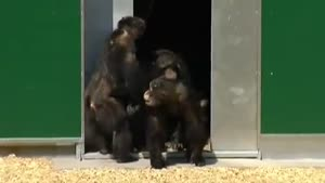 Laboratory Chimps See Daylight For The First Time