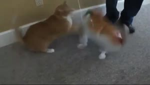 Fat Red Cat Doesn't Like It's Twin