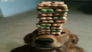 Dog Balances Huge Stack Of Dog Treats