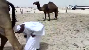 Annoyed Camel Poops On Old Guy's Head