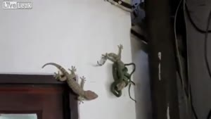 Gecko Saves His Friend From Snake