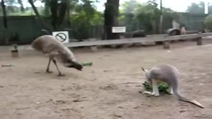 Emu Is Fed Up With Mr. Kangaroo