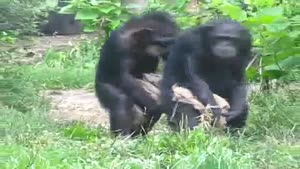 Synchronized Chimpanzees