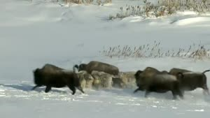 Wolf Pack Get's Unexpected Help