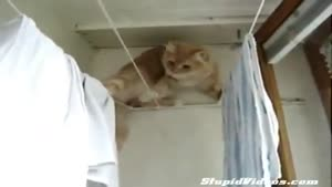 Cat Balances On Clotheslines