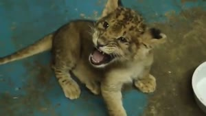 Cute Lion Cub Tries To Roar