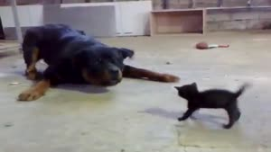 Brave Kitten Stands Up To Rottweiler