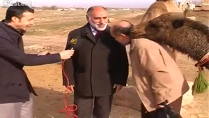 Camel Interrupting An Interview