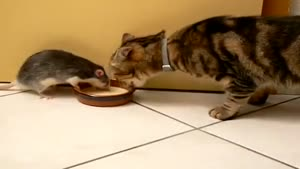 Cat And Rat Share Milk