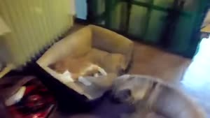 Dog Wants His Bed Back